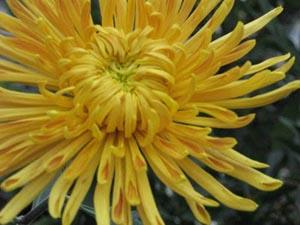 игольчатые хризантемы фото