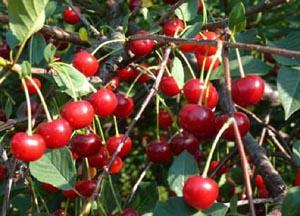 Сорта вишни зимостойкие