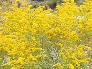 Садовый цветок жёлтого цвета